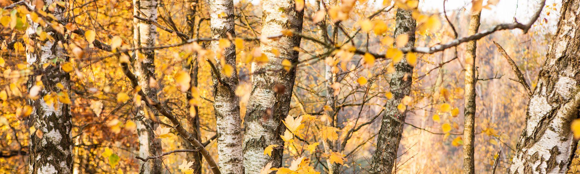 Las Brzozowy, Brzoza brodawkowata (Betula pendula)