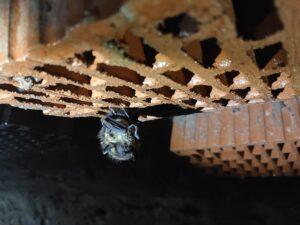 Mroczek pozłocisty