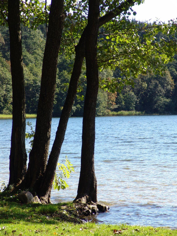 Olsze czarne nad brzegiem jeziora Hańcza