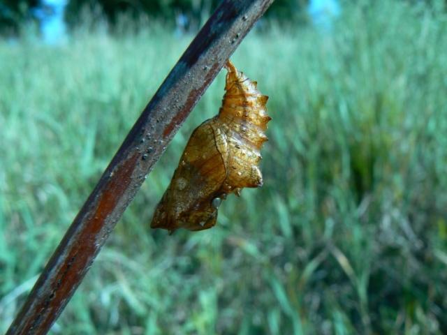Poczwarka motyla