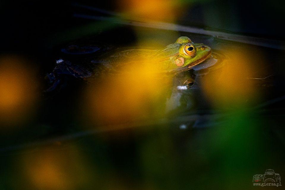 Żaba jeziorkowa. Fot.M.Giersa