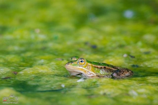 Zielono w SPK, żaba jeziorkowa. Fot.M.Giersa